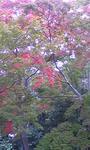 111103昭和記念公園日本庭園モミジ.jpg